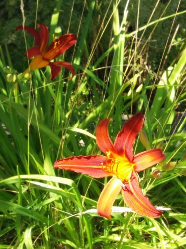 Oranje lelies